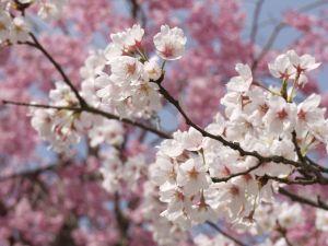 Cerisier au printemps_photo F.EVRARD_La Bella Rocoma